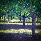 Walnut Tree Royalty Free Stock Photos