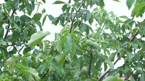 Walnut tree. Raining on a walnut tree, green leaves stock video footage