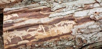 Walnut Tree Remains royalty free stock photos