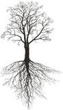 Walnut tree with roots Stock Photo