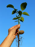 Walnut tree seedling Royalty Free Stock Image