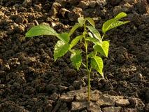 Walnut tree seedling stock photos