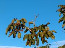 Walnut tree Royalty Free Stock Photo