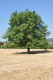 Walnut tree Royalty Free Stock Photos