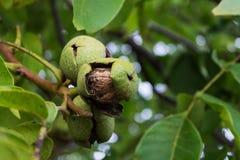 Walnut on a tree Royalty Free Stock Image