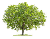 Walnut tree on a white background Stock Photo
