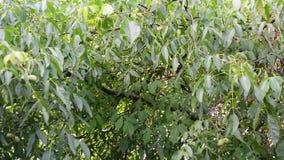 Walnut tree in wind stock footage