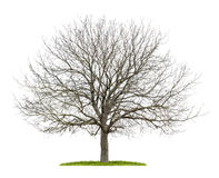 Walnut tree in the winter Royalty Free Stock Photography