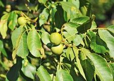 Walnut tree & x28;Juglans regia& x29; with fruit Stock Photos