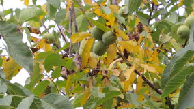 Walnut tree with yellow leaves stock footage