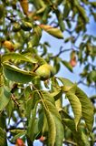 Walnut tree with green fruits Royalty Free Stock Photography