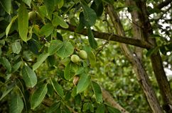 Walnut tree with green fruits Royalty Free Stock Photos