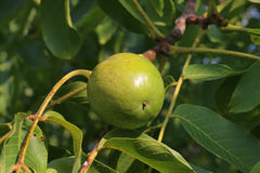 Walnut on tree. Young green walnut on tree Royalty Free Stock Image