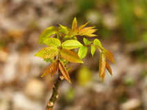 Walnut tree young spring leaves Royalty Free Stock Photo