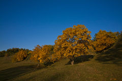 Walnut trees in autumn season Stock Photos