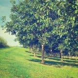 Walnut Trees Stock Images