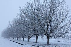 Walnut trees in winter left side. Row of walnut trees in fog in winter left side stock photography