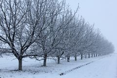 Walnut trees in winter right side. Row of walnut trees in fog in winter right side stock photo