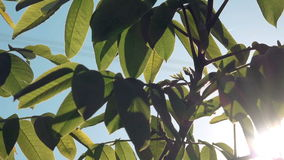 Walnut Treetop and Branches with Green Leaves with Morning Sunlight Shining Through. Plants in Orchard stock video footage