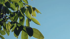 Walnut Treetop and Branches with Green Leaves with Morning Sunlight Shining Through. Plants in Orchard stock footage