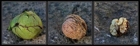 Walnut triptic  Stock Image