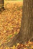 Walnut trunk. Trunk of the walnut tree. Autumn background Stock Image