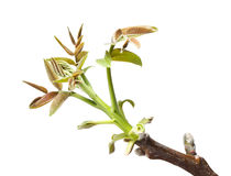 Walnut twig at spring Stock Photography