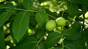 Walnut with unripe nuts stock footage