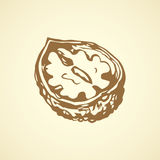 Walnut. Vector drawing Stock Photo