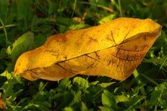 Walnut yellow leaf Stock Photography