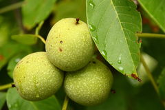 Walnuts. Green walnuts growing on a tree, drops of water Stock Photos