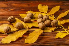Walnuts with autumn yellow walnut leaves against the background of an old wooden table. Royalty Free Stock Images