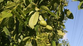 Walnuts on the branch. Branch of walnut on the background of blue sky stock video footage