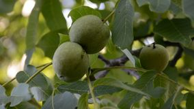 Walnuts on a branch. During the summer day stock video footage