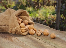 Walnuts in burlap bag on old wood table Royalty Free Stock Image