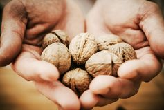 Walnuts in Chef Hands Stock Image