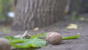 Walnuts fall from a tree,slow mo,close up stock video