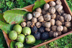 Walnuts. Freshly picked at different stages - kernel, in the husk and in the shell royalty free stock image