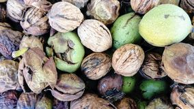 Walnuts freshly picked at different stages stock photo