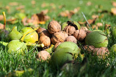 Walnuts on the grass Royalty Free Stock Photo