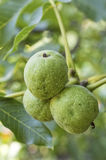 Walnuts with green husk on tree branch Stock Photos