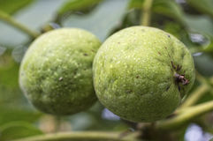 Walnuts with green husk on tree branch Stock Photo