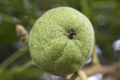 Walnuts with green husk on tree branch Stock Image