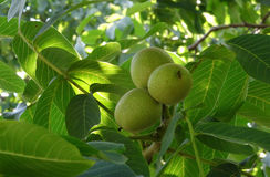 Walnuts in Green Husks Ripen in Nature Conditions Stock Image