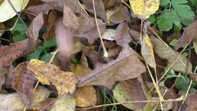 Walnuts on the ground in autumn stock footage