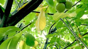 Walnuts growing on the tree. Close up stock video footage