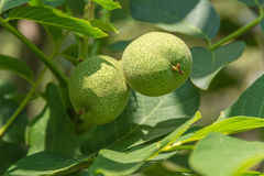 Walnuts growing on a tree. Fruits of walnut tree in the garden Royalty Free Stock Images