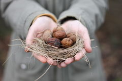 Walnuts. Hands holding abandoned nest in which is the nuts Royalty Free Stock Images