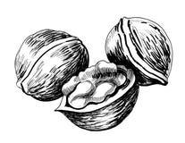 Walnuts. Ink drawing of a three walnuts Stock Photo