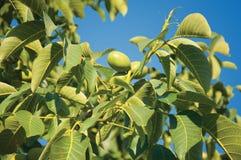 Walnuts Isolated Royalty Free Stock Photos